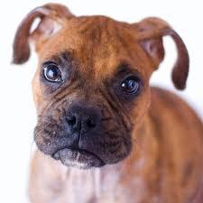 boxer dog rescue home blue ridge boxer rescue