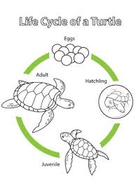 16 turtle unit study images unit studies sea