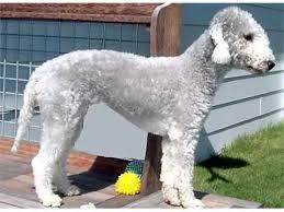 bedlington terrier guide terrier dog breed types picture ideas bedlington terrier youtube