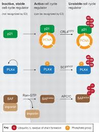emerging regulatory mechanisms in ubiquitin dependent cell cycle