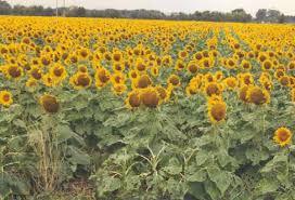 hybrid black oil sunflower turner seed