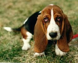 bluetick coonhound basset hound mix artois hound puppies puppy dog gallery
