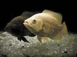 top 10 list the stupidest common freshwater aquarium fish blue