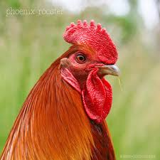 fun facts about chickens a healthy life for me
