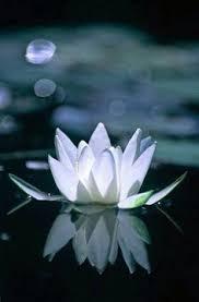 Blue Lotus Flower Meaning - artemis dreaming lotus flower meaning lotus love