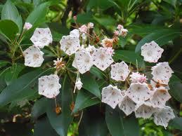 kalmia latifolia mountain laurel poultrydvm toxic plants a z