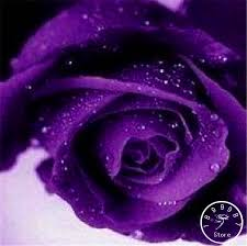 purple roses for sale hot sale 100 pcs pack blue and pink seeds color rich