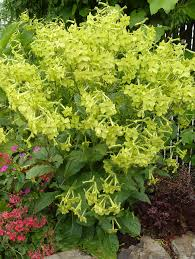 Lime Green Flowers - nicotiana lime green great plant for part sun part shade to 3ft
