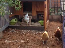 dreaming of home backyard chickens and amazing chicken coops