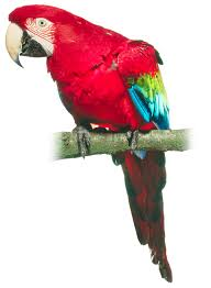 did pirates have pet parrots history lessons dk find out