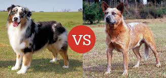 is an australian shepherd smart what u0027s the difference between the australian shepherd and the