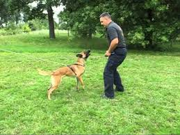 belgian shepherd training video the most dangerous police dog in the world belgian malinois
