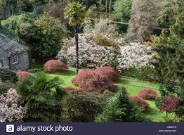 famous gardens the famous gardens of trevarno helston cornwall acer palmatum