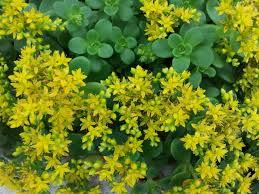 sedums plant care and collection of varieties garden org