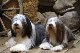 bearded collie mini bearded collie puppies for sale from reputable dog breeders