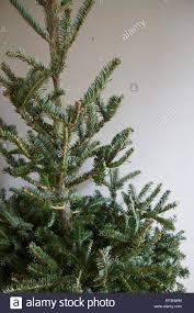nordmann fir abies nordmanniana branches of christmas tree