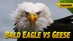 Patriotic Eagle Meme - bald eagle vs geese someone gets their head cut off youtube