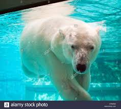 Chicago Lincoln Park Zoo Lights by Anana The Resident Female Polar Bear Of Lincoln Park Zoo In
