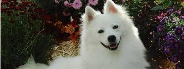 american eskimo dog apartment american eskimo dog breed guide learn about the american eskimo dog