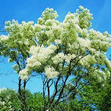 Tree With Little White Flowers - top 10 trees for small spaces with spring creek watergardens