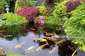 koi carp stock photos and pictures getty images
