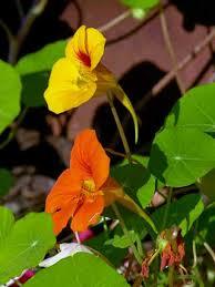 nasturtium flowers garden nasturtium tropaeolum majus flowers naturegate
