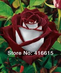 different color roses aliexpress buy 250 new seeds 5 different colors
