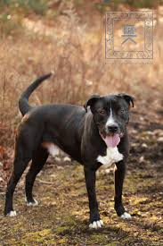 american pit bull terrier lab mix sam tri county pit bull rescue u0027s web page
