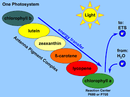 Is Light Energy Onephotosystem Gif