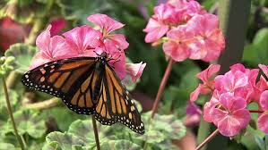 a monarch butterfly perched on a pink hibiscus flower stock