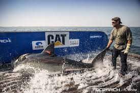 ocearch catches and releases nearly half dozen great whites off