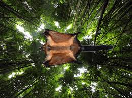 biswamoyopterus laoensis new species of flying squirrel from laos