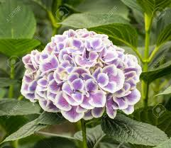 large lilac and white hydrangea flower in a nursery of hydrangea