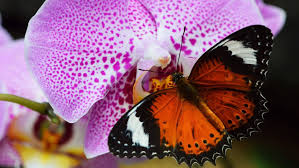 animals insect orange butterfly orchid purple desktop background hd