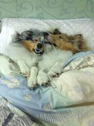 Dog In Bed Meme - 20 sleepy dogs who re definitely not letting you sleep in your