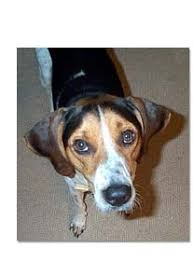 is a bluetick coonhound a good pet coonhound breed profile