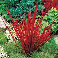blood grass plant baron