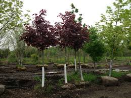 crimson king maple maple trees for sale buy maples