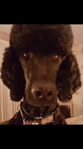 84 best standard poodles images on pinterest standard poodles