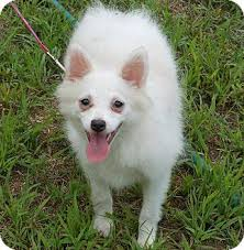 american eskimo dog short hair blanca adopted puppy stow me american eskimo dog bichon