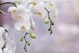 white orchids white orchid pictures images and stock photos istock