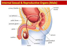 Anatomy Of The Female Reproductive System Pictures Science 8th Grade Female And Male Reproductive Anatomy