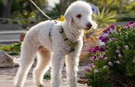 bedlington terrier genetic disease breeds temperament of bedlington terriers dogs