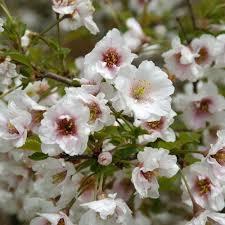 prunus hally jolivette buy cherry blossom flowering cherry