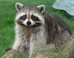 Tennessee wildlife images Tennessee state wild animal raccoon jpg