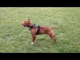 american pitbull terrier gray american pit bull terrier diesel youtube