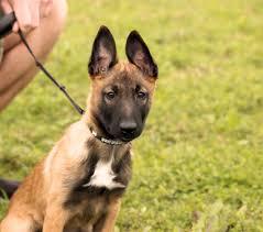 belgian sheepdog malinois 11 week old belgian malinois puppy erna dogs pinterest