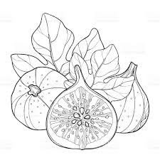 vector composition with outline common fig or ficus carica ripe