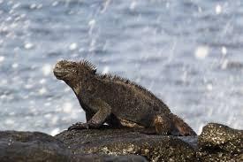 Iguana Island Arkive Blog Guest Blog The Marine Iguanas Of San Cristobal Island