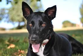 australian shepherd kelpie free images puppy animal pet black race vertebrate dog